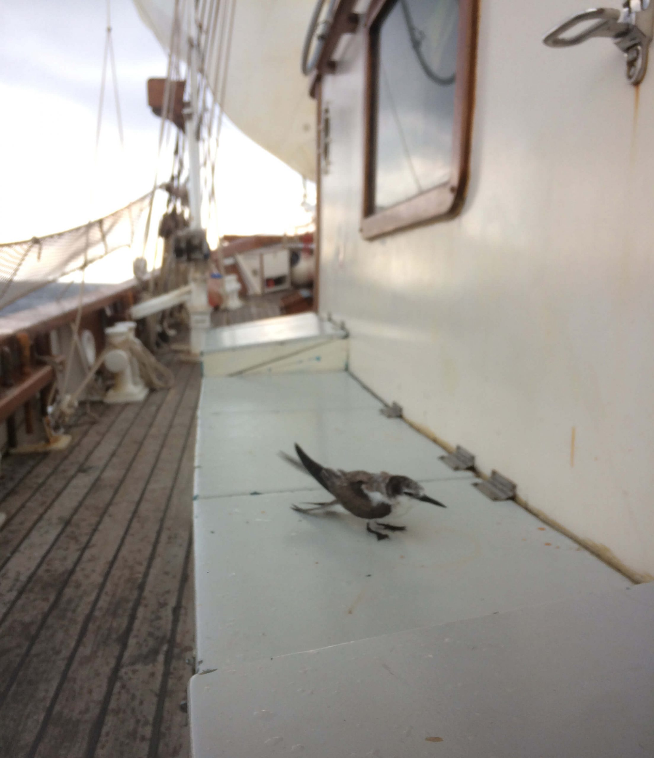 Sailing on the Bismarck Sea, a dying bird