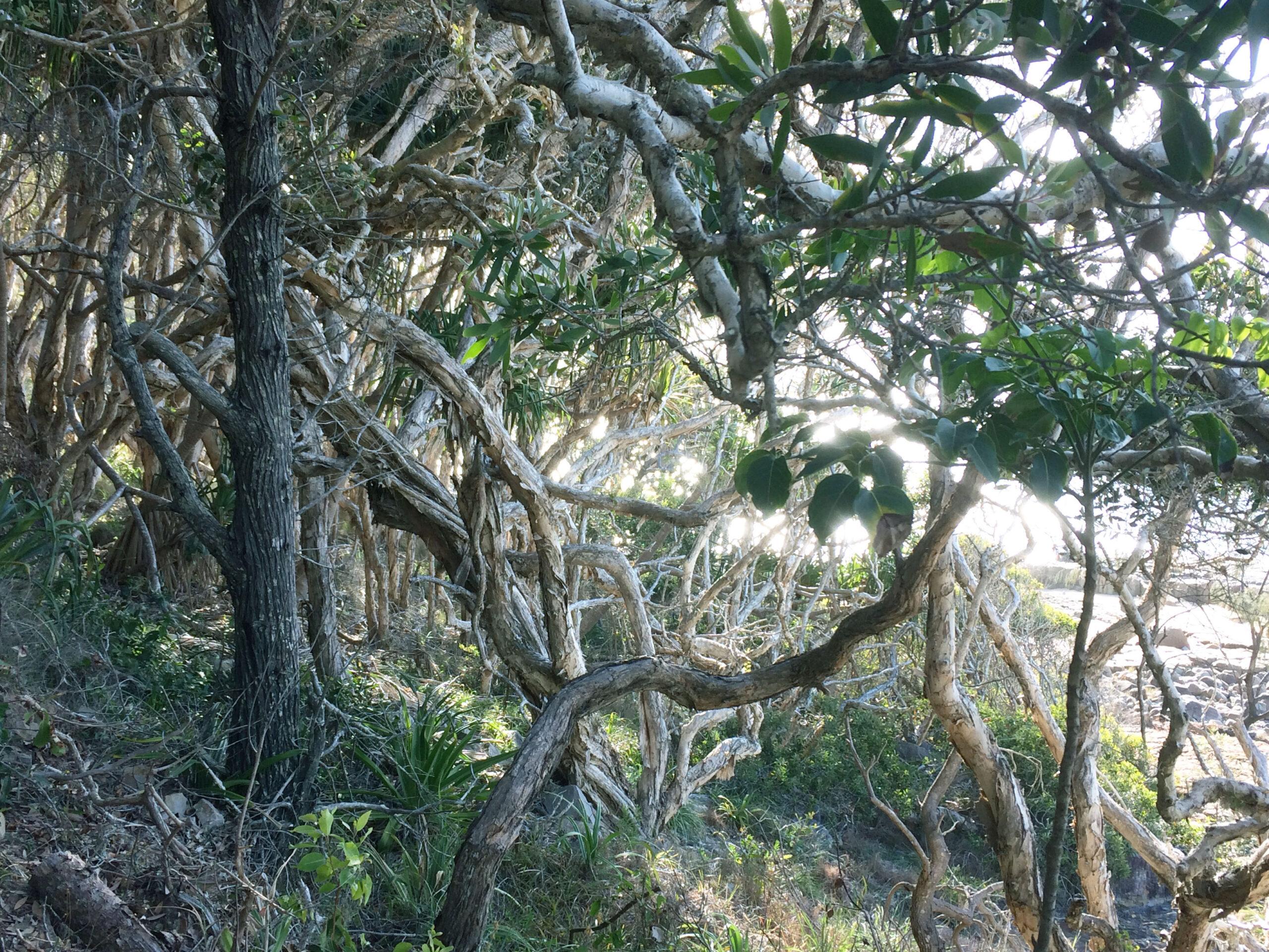 Tea trees by the ocean, Noosa, Queensland.