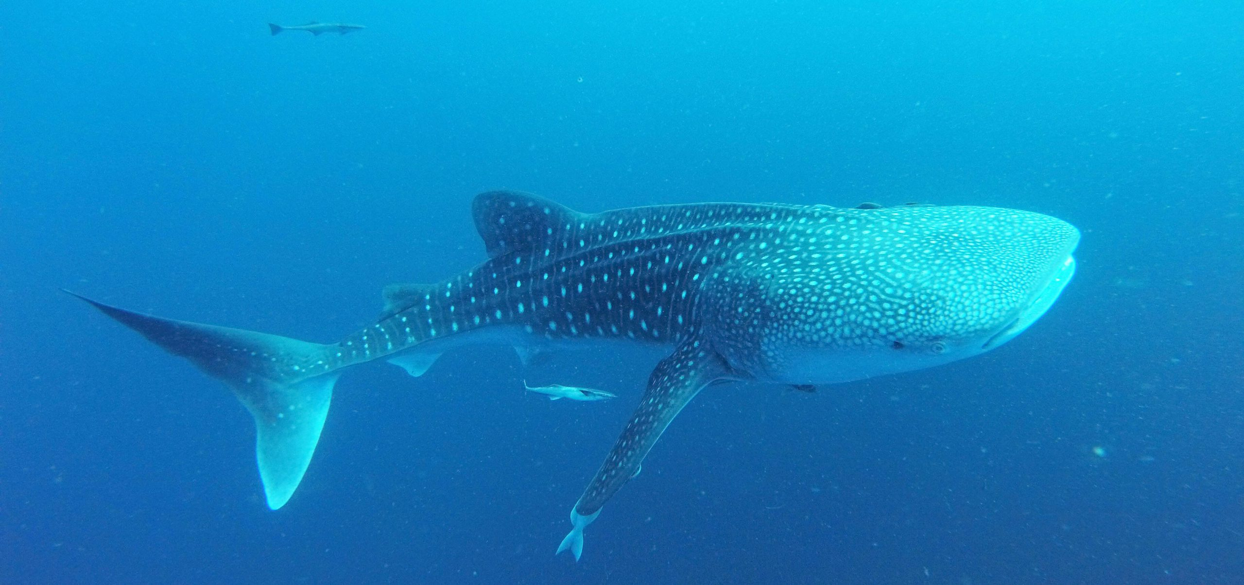 Whale shark in Indonesian Papua